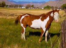 California pinto paint horse in farm. Grazing looking camera stock photography