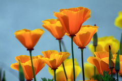 California Poppies. The bright orange flowers of California Poppies royalty free stock image