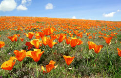 California poppies 2. California poppies blooming near Antelope Valley against blue sky with white clouds Stock Photography