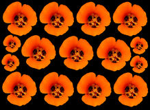 California Poppies. Orange California poppies isolated on a black background Stock Image