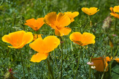 California Poppies Royalty Free Stock Photo