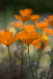 California poppies Stock Images