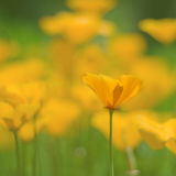 California poppies Stock Image