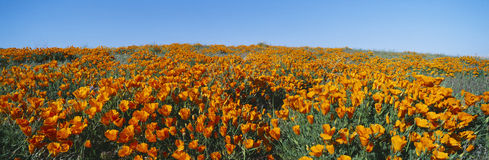 California Poppies. In Antelope Valley, California royalty free stock image