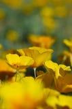 California Poppies. Photo of California poppies during the springtime royalty free stock photo