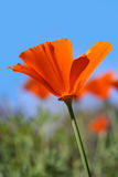 California Poppies. Beautiful orange California Poppies lit by the sun, against a blue sky Stock Photo