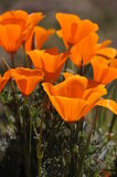 California poppies. California poppy is a state flower of california Royalty Free Stock Photo