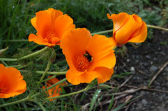 California Poppies. These  are the California Poppies, they are very orange Stock Images
