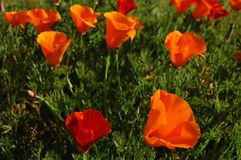 California Poppies. Field of California Poppies -- California State Flower Stock Photo