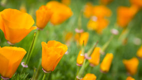California Poppies. A bed of poppies in Golden Gate Park. Close up of one blossom, many more out of focus in the background royalty free stock photo