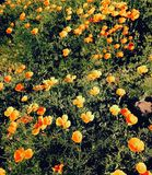 California poppies in a bed of grass. Many many poppies yellow to orange in the springtime popular flower in California Royalty Free Stock Photos