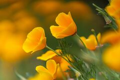 Free California Poppies Blooming In The Spring Stock Photos - 181234603