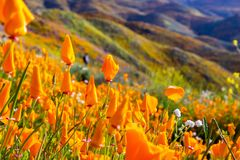 California poppies blooming in Walker Canyon during the superbloom, Lake Elsinore, south California royalty free stock image