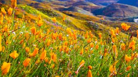California poppies blooming in Walker Canyon during the superbloom, Lake Elsinore, south California stock image