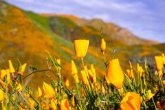 California poppies blooming in Walker Canyon during the superbloom, Lake Elsinore, south California royalty free stock photography