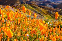 California poppies blooming in Walker Canyon during the superbloom, Lake Elsinore, south California royalty free stock images