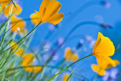California Poppies and Blue Sky royalty free stock photography