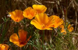 California Poppies. Callifornia Poppies at Lake Hodges royalty free stock photos