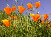 California Poppies, Eschscholzia californica Stock Image