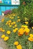 California poppies (Eschscholzia californica) Royalty Free Stock Image