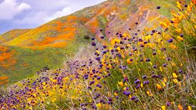 California poppies Eschscholzia californica and Chia Salvia hispanica blooming on the hills of Walker Canyon during the. Superbloom, Lake Elsinore, south stock photo