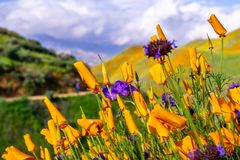 California poppies Eschscholzia californica and Chia Salvia hispanica blooming on the hills of Walker Canyon during the. Superbloom, Lake Elsinore, south royalty free stock image