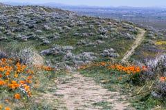 California Poppies -Eschscholzia californica Royalty Free Stock Image