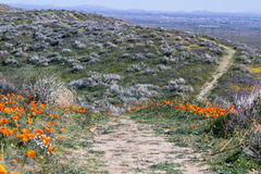 California Poppies -Eschscholzia californica Stock Photos