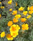 California Poppies Eschscholzia californica Glowing in the Afternoon Sun royalty free stock photo