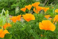 California Poppies Eschscholzia californica growing on a meadow, San Jose, south San Francisco bay, California stock images
