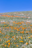 California Poppies -Eschscholzia californica Stock Image