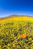 California Poppies -Eschscholzia californica Stock Image