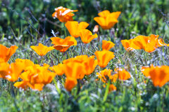 California Poppies -Eschscholzia californica Stock Photography