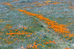 California Poppies -Eschscholzia californica Royalty Free Stock Image