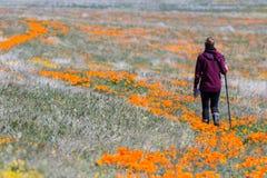 California Poppies -Eschscholzia californica Royalty Free Stock Photos