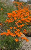 California Poppies. A field of California Poppies eschscholzia californica in San Diego, California Stock Photography