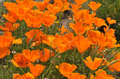 California Poppies. A field of California Poppies eschscholzia californica in San Diego, California Royalty Free Stock Photography