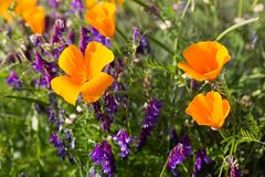 California Poppies in a Field with Purple Flowers. A sunny day lights up the poppy to vibrant orange and yellow color Royalty Free Stock Images