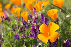 California Poppies in a Field with Purple Flowers. A sunny day lights up the poppy to vibrant orange and yellow color Stock Images