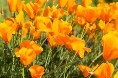 California Poppies in a Field with Purple Flowers stock image