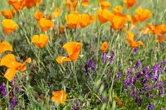 California Poppies in a Field with Purple Flowers. A sunny day lights up the poppy to vibrant orange and yellow color Stock Photo