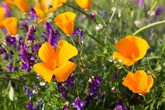 California Poppies in a Field with Purple Flowers. A sunny day lights up the poppy to vibrant orange and yellow color Royalty Free Stock Photos