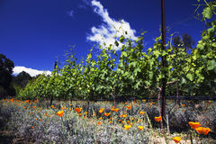 California Poppies and grapes in springtime, Oak View California vinyard, USA Royalty Free Stock Images