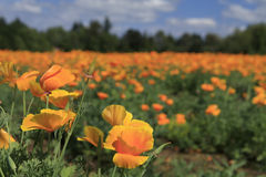California Poppies. Imagine driving the back roads and coming upon a brilliant field of California poppies! Stunning, vivid colors stock photo
