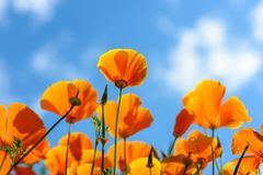 California Poppies reach out for the sky stock image