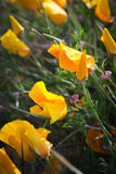California poppies near the beach. Macro shot of an orange California poppy wildflower Stock Images