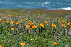 California Poppies Oceanview. Calif orange poppy with coastal view Royalty Free Stock Photo