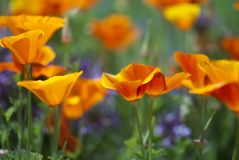 California Poppies. Orange California poppies bloom on a spring afternoon royalty free stock images