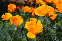 California Poppies. Orange California Poppy (Eschscholzia californica) in bloom in early spring royalty free stock image