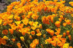 California Poppies Royalty Free Stock Photography